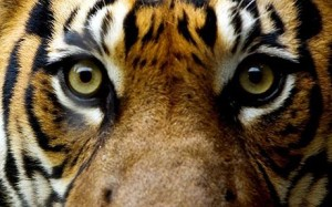 """""""Better to live one year as a tiger, than a hundred as a sheep."""""""